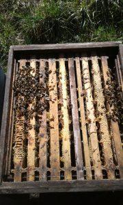 Starkes Bienenvolk
