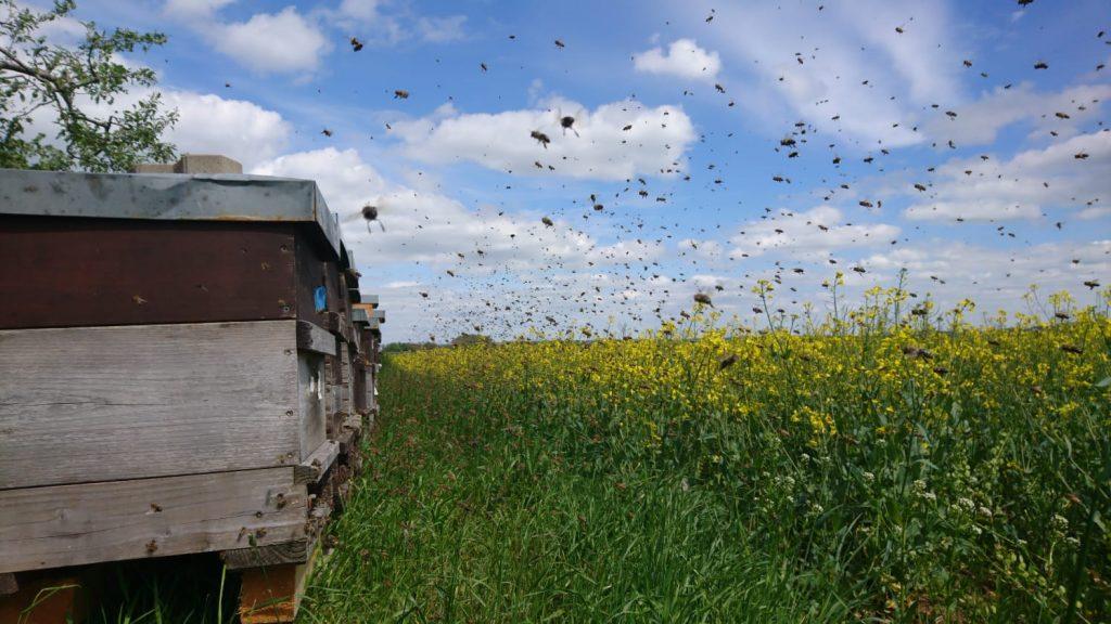 Bienen nach der Kälte am Raps
