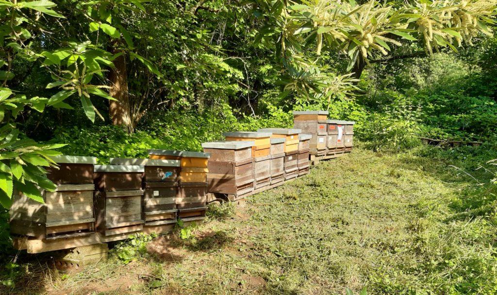 Bienen im Edelkastanienwald